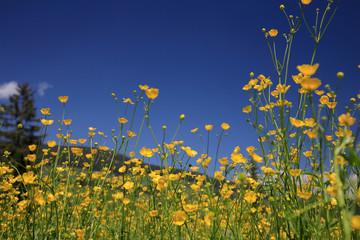 Hahnenfußgewächse (Ranunculaceae) Blüten