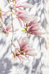 Beautiful blooming magnolia. A branch of royal magnolia on a white background with shadows