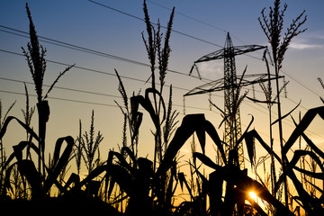 Sunset on the corn field with colorful blue sky and the electrical power line pole in the background