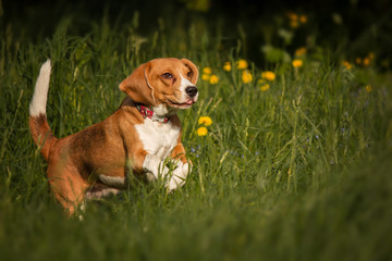 beagle dog in the garden