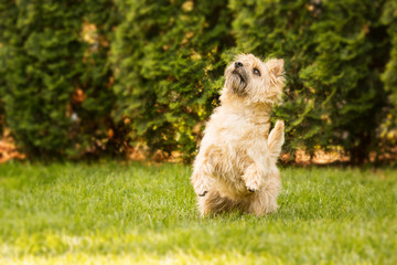 Cairn Terrier dog at the garden