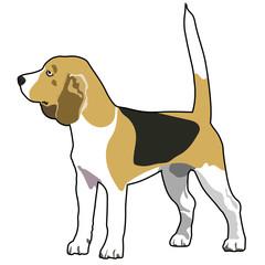 Beagle purebred dog