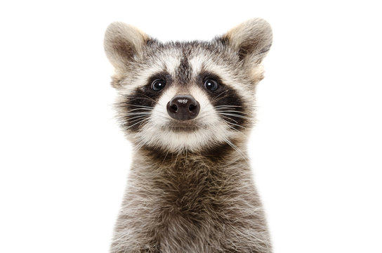 Portrait of a cute funny raccoon isolated on white background