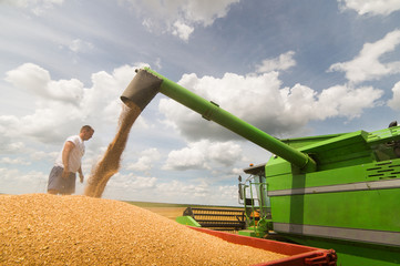 Pouring wheat grain into tractor trailer after harvest
