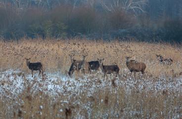 Red Deer Winter Netherlands