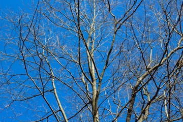 The bright blue sky though the bare tree branches.