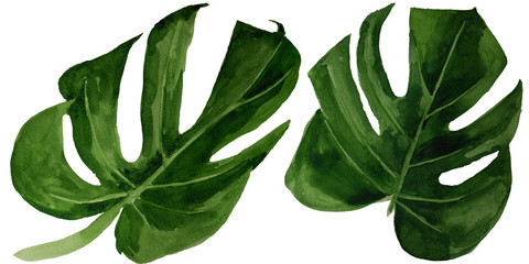 Watercolor tropical monstera leaf