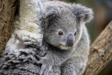 コアラの赤ちゃん