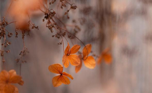 Verblühte Hortensien - Schönheit der Vergänglichkeit - Trauerkarte