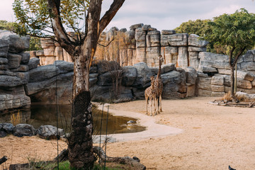 funny giraff walking near pond in zoological park, barcelona, spain