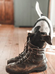 Dog and leather boots on wooden floor. Vintage home interior..