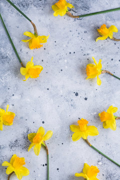 daffodils, frame, yellow spring flower, gray background, copy place