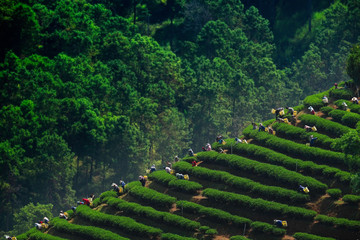 Tea picking in Chiang Rai Thailand.