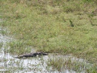 Alligator in the Yala national Park on the island of Sri Lanka