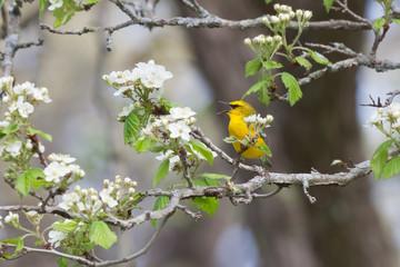 Singing Blue-Winged Warbler