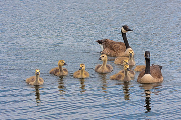Floating Family of Canada Geese