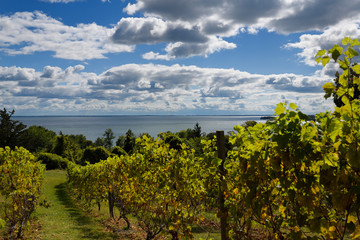 Grape vines in vineyard at County Cider Company and Estate Winery overlooking Prince Edward Bay, Lake Ontario in Prince Edward County