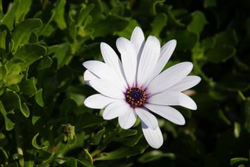 White Marguerite flower