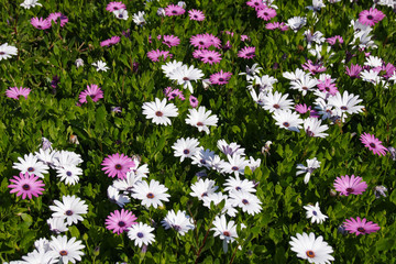 Pink and white Marguerites flowers