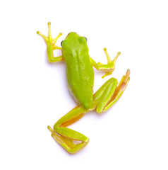 Deurstickers Kikker Green tree frog