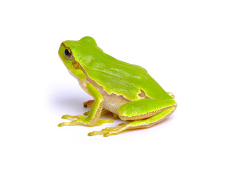 Foto op Canvas Kikker Green tree frog