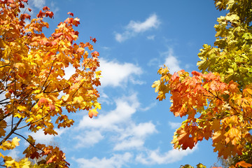 Autumn nature. Yellow, orange, red and green foliage on a trees in the park.  Maple leaves on blue sky background