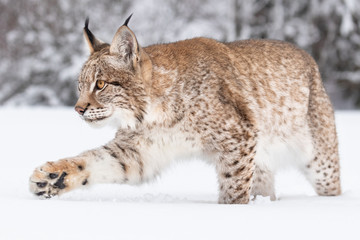 Papiers peints Lynx Young Eurasian lynx on snow. Amazing animal, running freely on snow covered meadow on cold day. Beautiful natural shot in original and natural location. Cute cub yet dangerous and endangered predator.