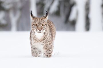 Young Eurasian lynx on snow. Amazing animal, running freely on snow covered meadow on cold day. Beautiful natural shot in original and natural location. Cute cub yet dangerous and endangered predator.