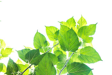 Mulberry green leaves on a white sky background.