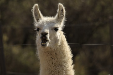 portrait of a lama