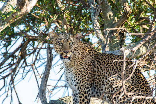 A leopard sitting on top of a tree in the plains of africa inside Masai Mara National reserve during a wildlife safari