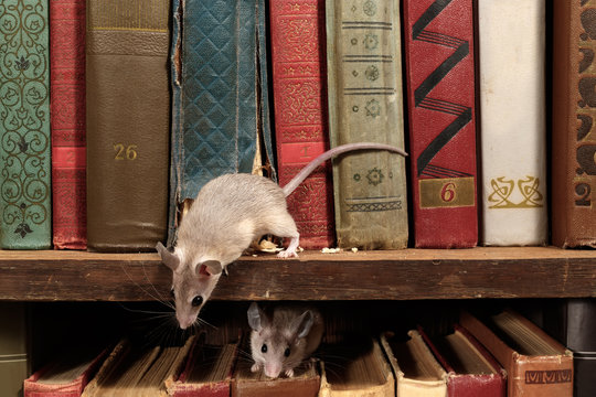 Close-up two young mice on  the old books on the shelf in the library. Concept of rodent control.