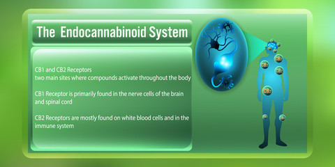 The Human body endocannabinoid system,cb1,cb2 receptors.vector illustration
