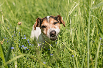 Small cute Jack Russell Terrier dog is eating grass in a meadow. Dog in a spring meadow