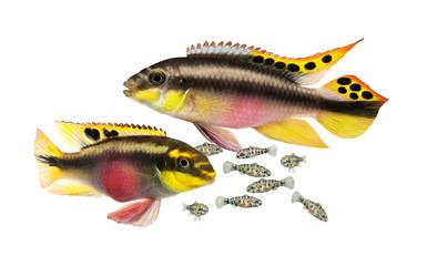 Breed Pulcher kribensis with swarm fry fish cichlid  Aquarium fish  Pelvicachromis pulcher Wall mural