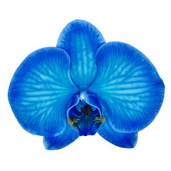 Tuinposter Orchidee blue cyan orchid flower isolated white background with clipping path. Flower bud close-up. Nature.