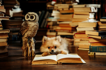 Clever pomeranian puppy with a book. Dog in a library