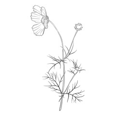 vector drawing flower of cosmos