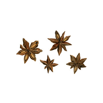 star anise drawing in watercolor