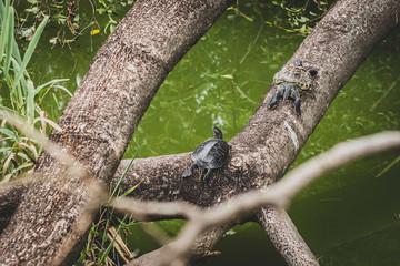 Fototapete - Honk Kong, November 2018 - turtles in Kowloon City Park