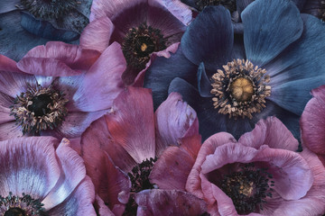 Acrylic Prints Floral Fine art still life floral pastel color macro of a bouquet / bunch / collage of pink and violet blue anemone blossoms with detailed texture in vintage painting style