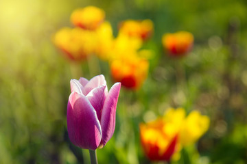 colorful tulips in park