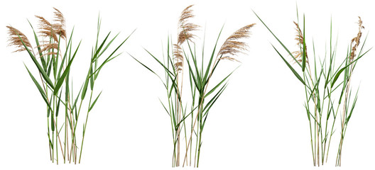 Cattail and reed plant isolated on white background Fototapete