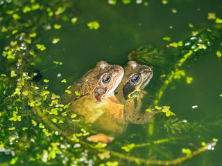 Two Common Frogs Mating at Night