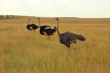 Three Masai ostriches in the Masai Mara in Kenya