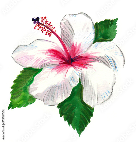 White Hibiscus Flower Watercolor Painting Stock Photo And Royalty