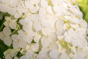 Macro photography of white hydrangea. Beautiful little flowers in bright sunlight. Soft selective focus. Fresh spring background with gently flowers blooming in garden, outdoor nature photography