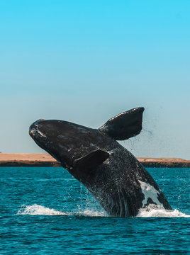 Whale jumping in Peninsula Valdes,, Patagonia, Argentina