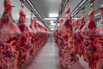 Freshly slaughtered halves of cattle hanging on the hooks in a refrigerator room of a meat plant for further food processing. Halal cutting. Wall mural