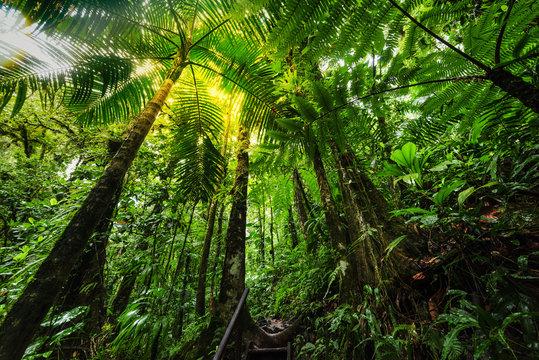 Lush vegetation in Basse Terre jungle in Guadeloupe